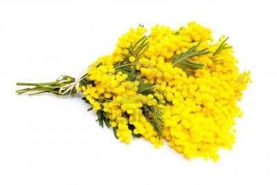 201338143139_14447405-mazzo-di-fiori-di-mimosa-isolato-su-bianco
