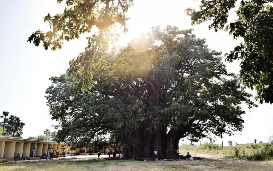 baobab-pianta-benedetta-rossi