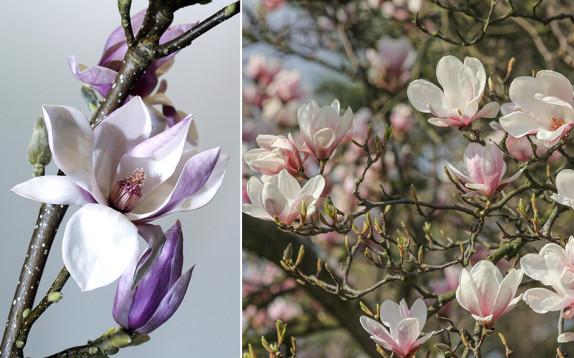 Magnolia, sette virtù insospettabili