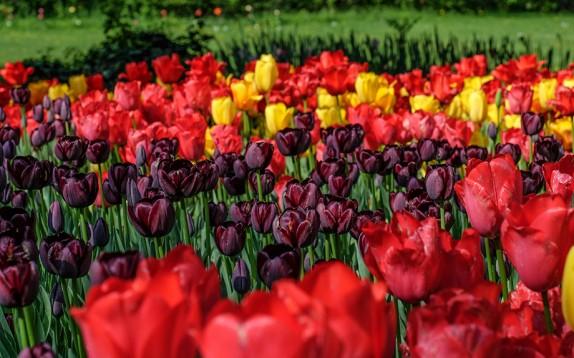 Spettacolare fioritura di 100mila tulipani nel parco piemontese del Castello di Pralormo